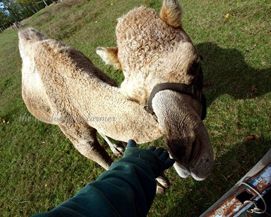 Pet camel perspective gizmo farm truck brush