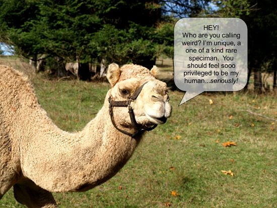 Talking camel farm field brush lips