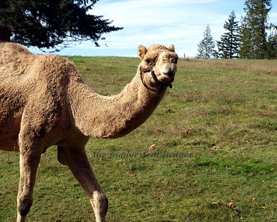Camel closeup field farm brush