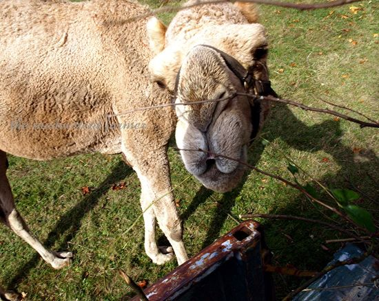 Camel eat brush lips farm 1972 truck chevy pickup original
