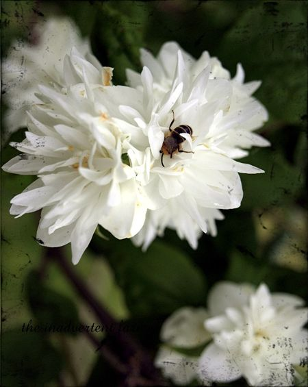 Bee white flower1