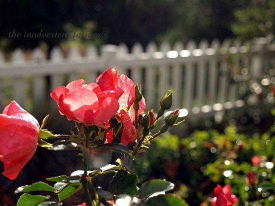 Moms rose