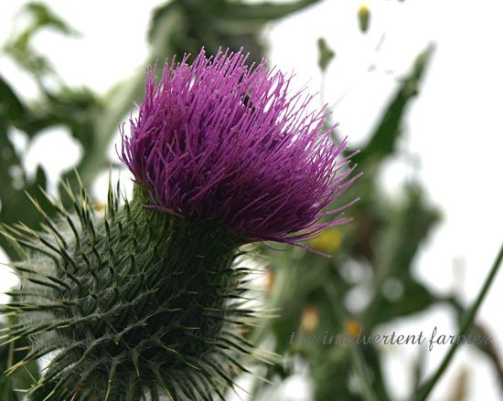 Canada thistle pink flower weed