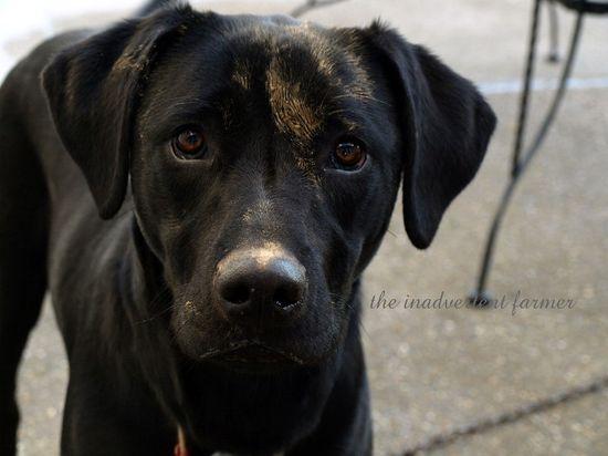 Muddy black lab pound puppy