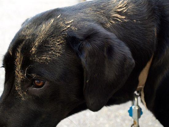 Muddy pound puppy dog black lab