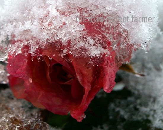 Winter rose2