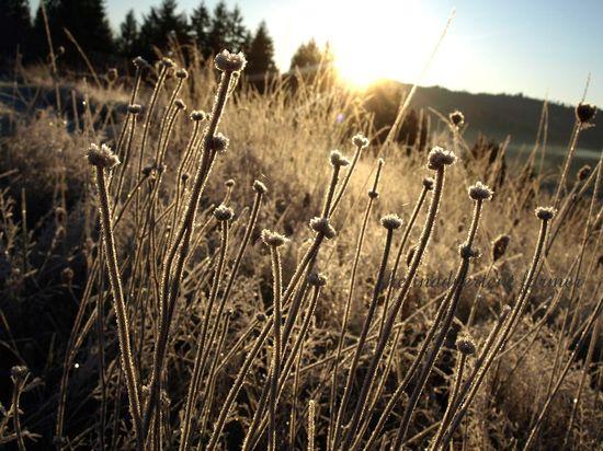 Grasses sunrise field frost winter farm