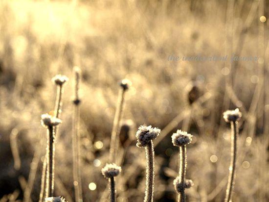 Daisy winter seedhead frost sunrise