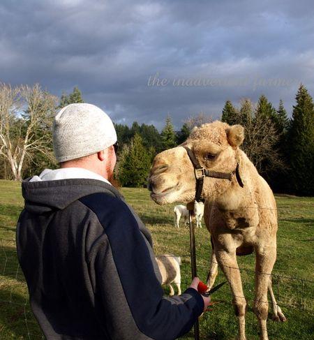 Feed camel apple