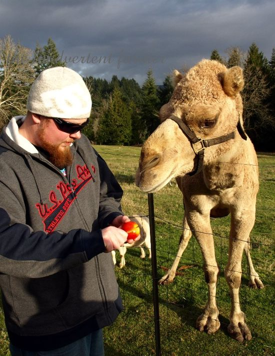Apple camel feed