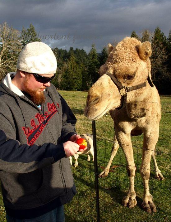 Apple camel feed