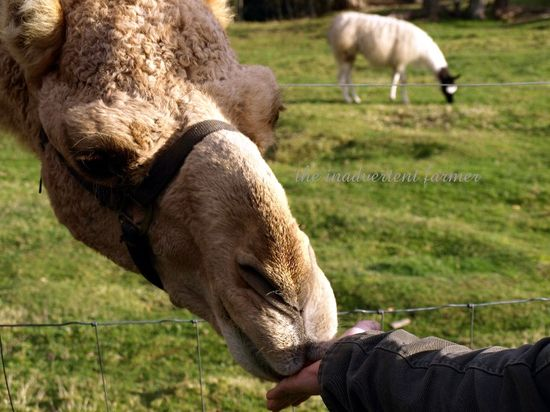 Camel smell hand lips