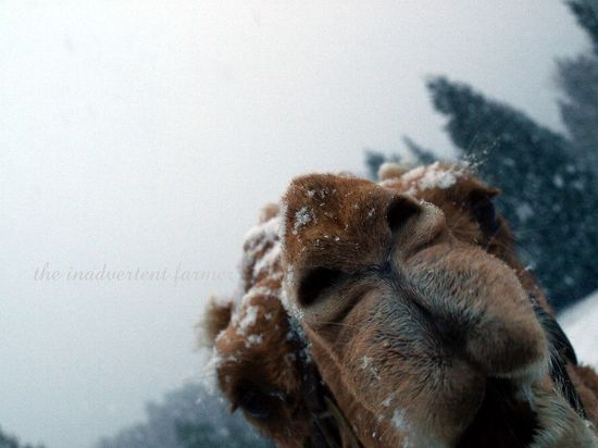 Camel nose lips snow winter