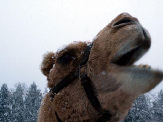 Camel chew apple snow winter
