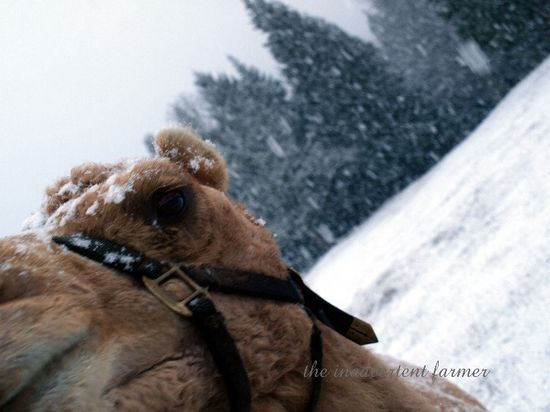 Camel lips eyes snow winter