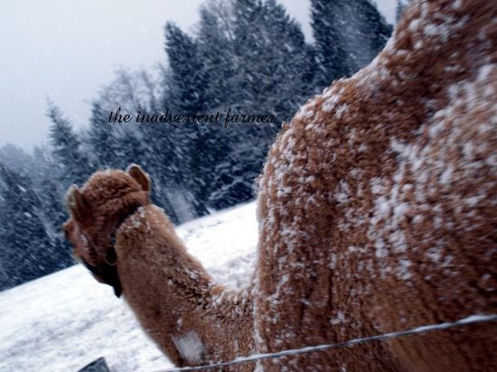 Snow camel fur winter gizmo