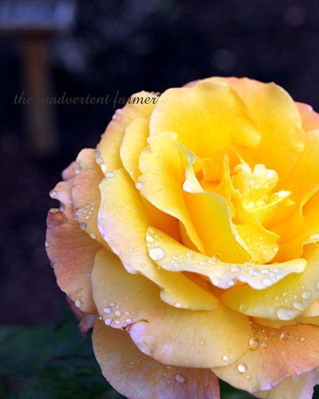 Golden rose yellow pink bloom rain