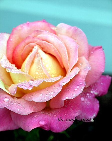 Pink cream yellow rose dew beautiful