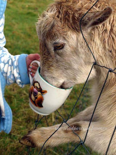 Goat girl feed farm