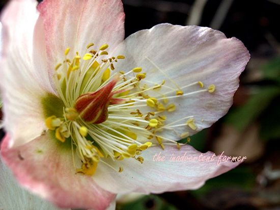Winter rose pink Helleborus