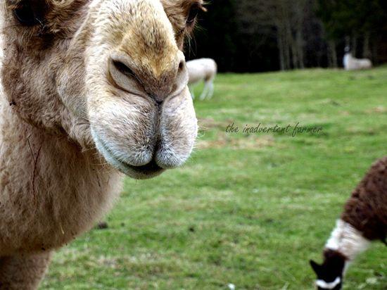 Llama camel nose lips