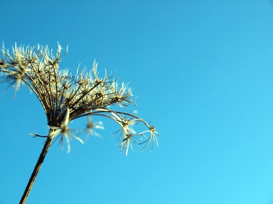 Blue sky queen annes lace weed