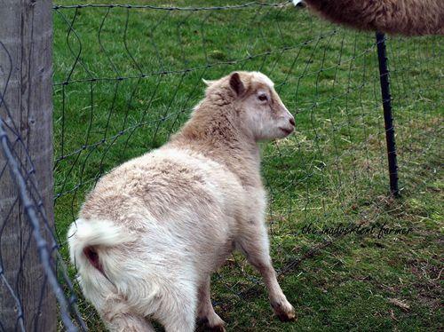 Goat fency pygmy camel
