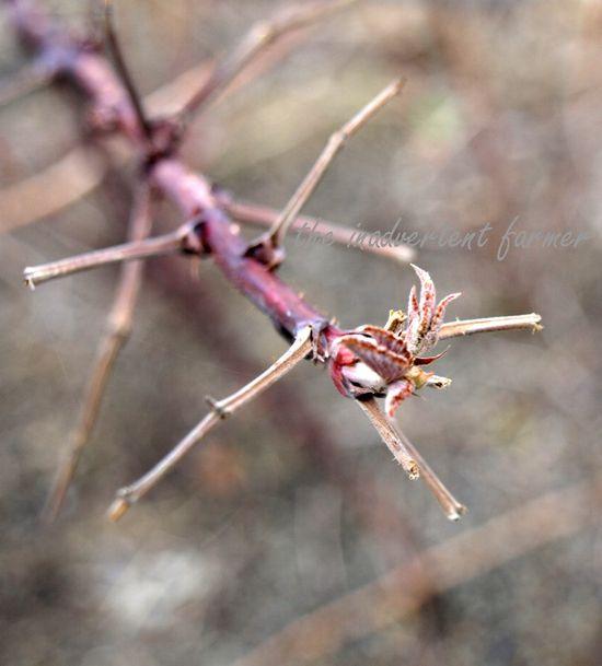 Winter garden raspberry bud