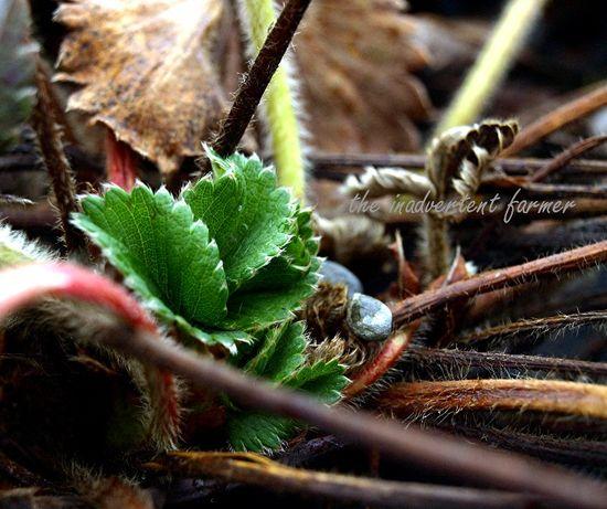 Winter garden strawberry leaf