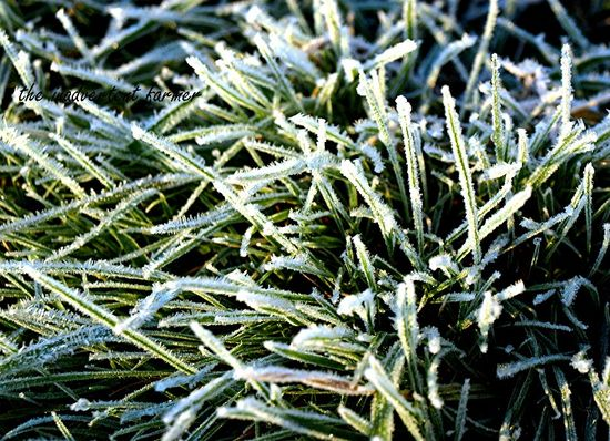 Frosty green grass