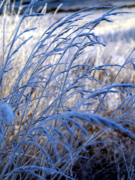 Frosy tall grass field winter