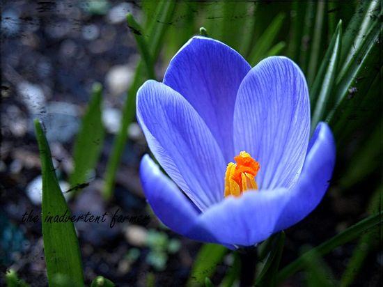 Crocus flower purple spring