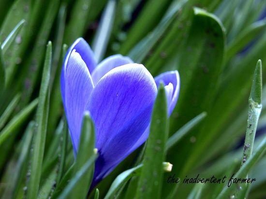 Crocus flower spring purple