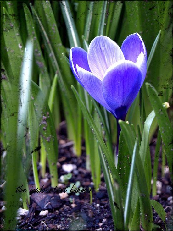 Flower crocus purple spring