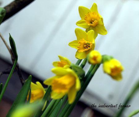 Daffodil cabin