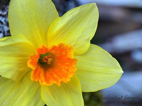 Spring daffodil yellow