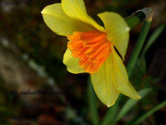 Spring daffodil yellow orange top