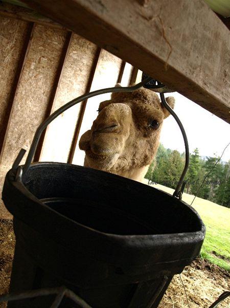 Camel bucket salt