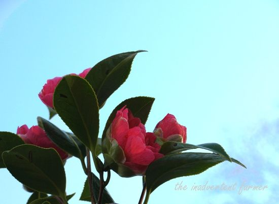 Camillia hot pink sky reach blue