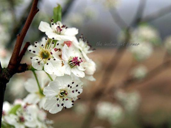 Cherry blossom in spring fog1