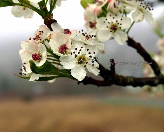 Cherry blossom in spring fog3