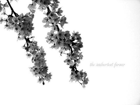 Cherry blossom in spring fog black white1