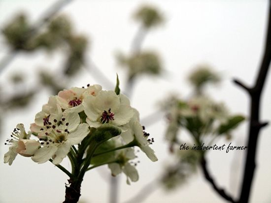 Pear blossom in fog