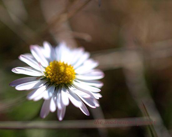 Daisy flower1