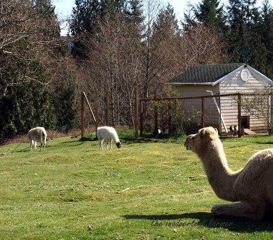 Spring camel llamas