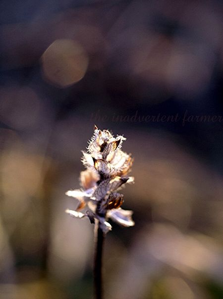 Winterweed2