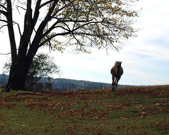 Camel autumn fallen leaves field sky fall brush