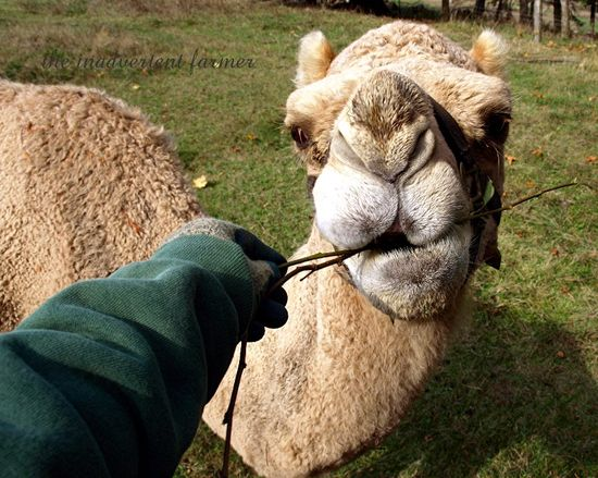 Camel nose ears lips feed brush farm