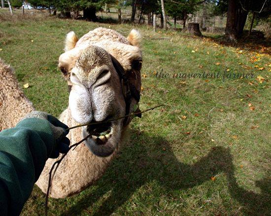 Camel lips nose eat brush farm feed