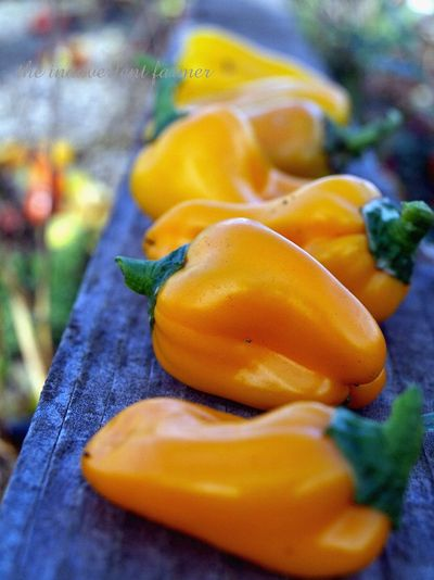Yellow yum yum bell pepper garden winter